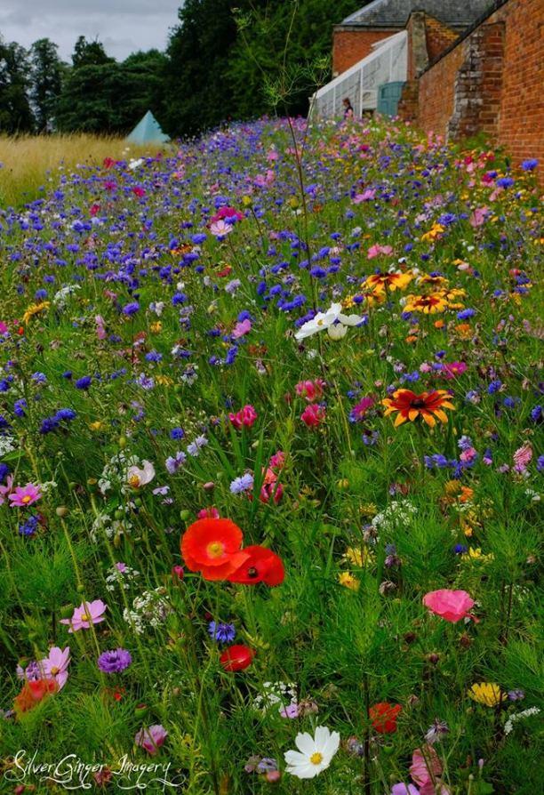 garden with poppy