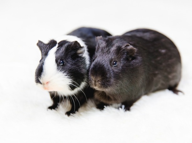 guinea-pig-2121743_1920
